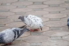White Pigeons bird pecking food on the ground. The pigeon searching for food, according to the ground royalty free stock photos