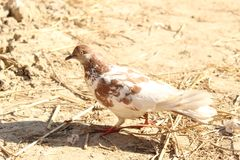 White Pigeons birds stock images