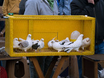 White Pigeons in a Cage. White pigeons were standing in a yellow cage and waiting for a buyer Stock Images
