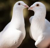 White pigeons couple royalty free stock photo