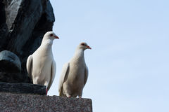 White pigeons Stock Image