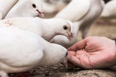 White pigeons feeding on woman's hand Royalty Free Stock Images