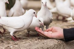White pigeons feeding on woman's hand Stock Photography