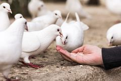 White pigeons feeding on woman's hand Royalty Free Stock Image