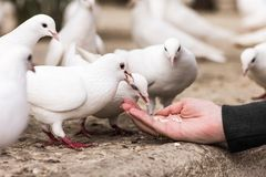 White pigeons feeding on woman's hand Stock Images