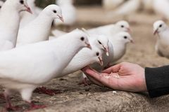 White pigeons feeding on woman's hand. On the street Royalty Free Stock Image