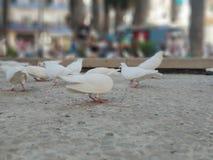 Pigeons eating royalty free stock photos