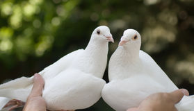 White pigeons in hands Royalty Free Stock Image