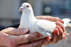 White pigeons in the hands of breeders Royalty Free Stock Images