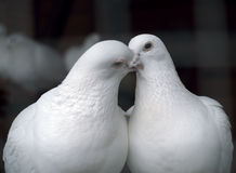 White pigeons in love kissing Royalty Free Stock Image