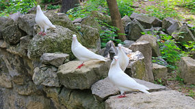 White Pigeons Royalty Free Stock Images