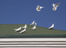 White pigeons. Royalty Free Stock Images