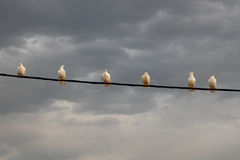 White pigeons in a row Stock Images
