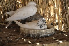 White pigeons sit on a wooden table in a dry cane dovecote.  royalty free stock photography