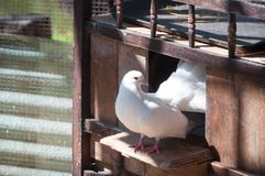 White Pigeons are sitting in the window of their wooden house Royalty Free Stock Images