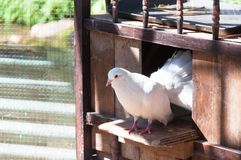 White Pigeons are sitting in the window of their wooden house Royalty Free Stock Photo