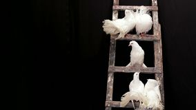 White Pigeons On The Stairs stock footage