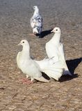 White pigeons. Three pigeons on a gray paving stone Royalty Free Stock Photo