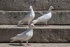 White pigeons Royalty Free Stock Photo