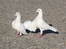 White pigeons. Three pigeons on a gray paving stone Royalty Free Stock Photos