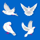 White pigeons in various poses isolated on blue background Royalty Free Stock Images
