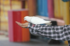 White pigeons was trained. Stock Photos