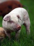 White Piglet Stock Photography