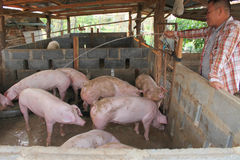 White Pigs Stock Photography