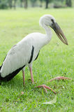 White pilican is a sickness in the park. A white bird famished and leg bent could not stand up to flying Stock Image