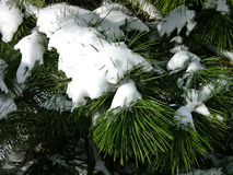 White Pine. Fragrant white pine branches, weighed down by snow royalty free stock images