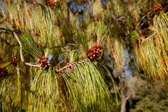 White Pine Royalty Free Stock Images
