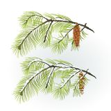 White Pine branch with pine cone autumnal and winter snowy natural background vector illustration Stock Photo