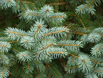 White Pine Fur Tree Branches Stock Images