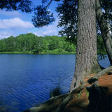 White pine at Kremer Lake Stock Photo