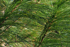White pine needles. Spring, Beatrice, Nebraska Stock Photo