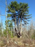 White pine in Quebec. Canada, north America. stock photo