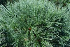 White pine Radiata. Latin name - Pinus strobus Radiata stock photo