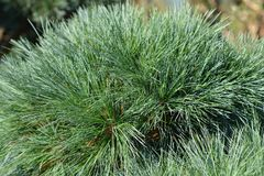 White pine Radiata. Latin name - Pinus strobus Radiata royalty free stock image