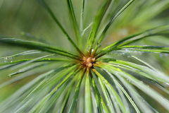 White Pine slut upp Royaltyfri Foto