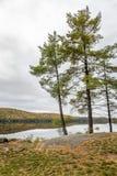 White Pine träd som gränsar en sjö i höst - Ontario, Kanada arkivfoto