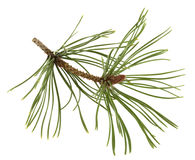White pine twig with a flower bud royalty free stock image