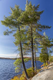 White Pines on a Rocky Lake Shoreline - Ontario, Canada. White Pines growing on a rocky lake shoreline in autumn - Algonquin Provincial Park, Ontario, Canada Stock Images