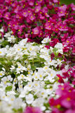 White and Pink. Flowers in the flower bed Royalty Free Stock Photos