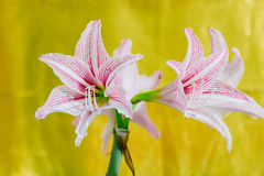 White Pink amaryllis flower. In yellow background Royalty Free Stock Images