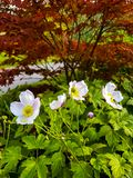 Anemone flowers blooming in the autumn flowerbed. stock image
