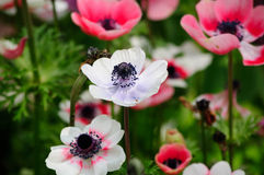 White and Pink anemones Royalty Free Stock Images