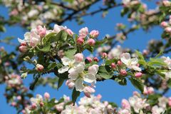 White and pink apple blossom, closeup against a blue sky. White and pink apple blossom, closeup against a blue sky on a sunny day Royalty Free Stock Image
