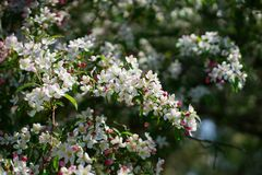 White and pink apple blossom detail. White and pink apple blossom detail in a bright sunny spring day Stock Image