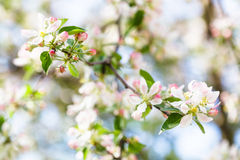 White and pink apple tree blossom close up Royalty Free Stock Photo