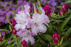 White-pink azalea. Beautiful flowers and buds on rhododendron bush in garden. Fresh flowers background or wallpaper royalty free stock images